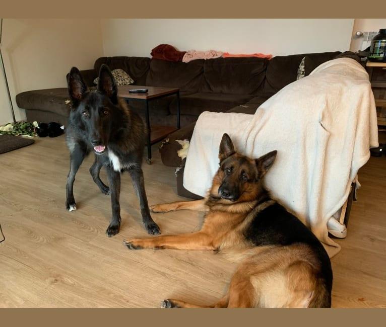 Photo of Aries, a Belgian Sheepdog, Siberian Husky, and German Shepherd Dog mix in Zagreb, Croatia