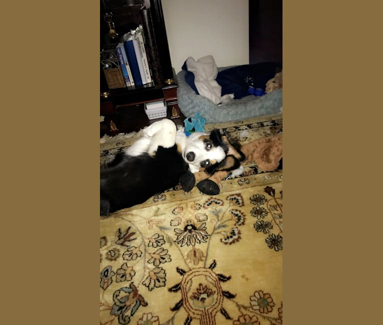Photo of Bentley, a Chihuahua, Australian Cattle Dog, American Pit Bull Terrier, and Mixed mix in Texas, USA