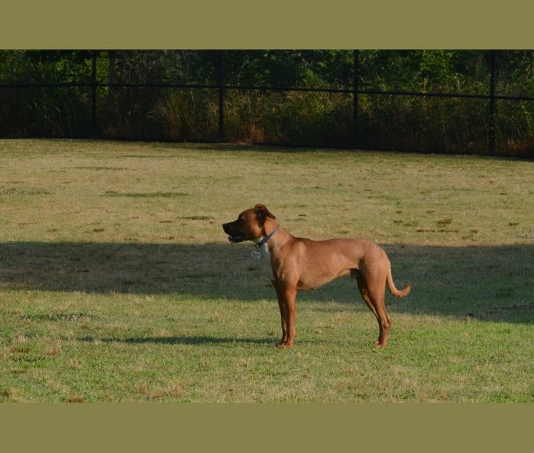 Photo of Bailey Dogbey, an American Pit Bull Terrier and American Staffordshire Terrier mix in McKamey Animal Center, North Access Road, Chattanooga, TN, USA