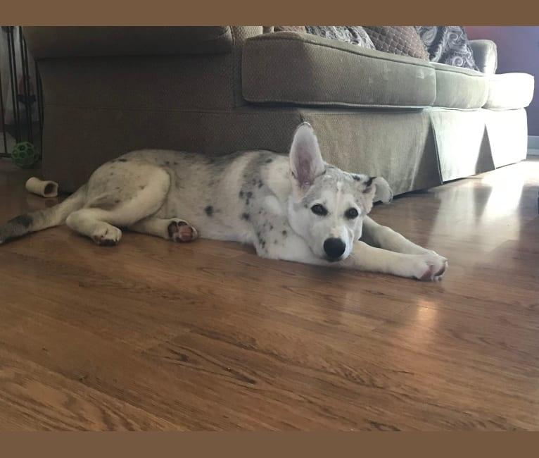 Photo of Jack, an Alaskan Malamute, German Shepherd Dog, Miniature/MAS-type Australian Shepherd, and Mixed mix in Oklahoma, USA