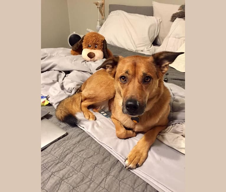 Photo of Linville, an American Pit Bull Terrier, Chow Chow, German Shepherd Dog, Labrador Retriever, and Mixed mix in Lexington, South Carolina, USA