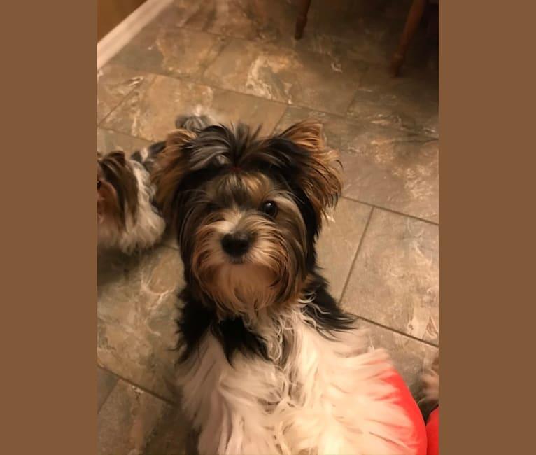 Photo of Gabbi, a Biewer Terrier  in Florida, USA