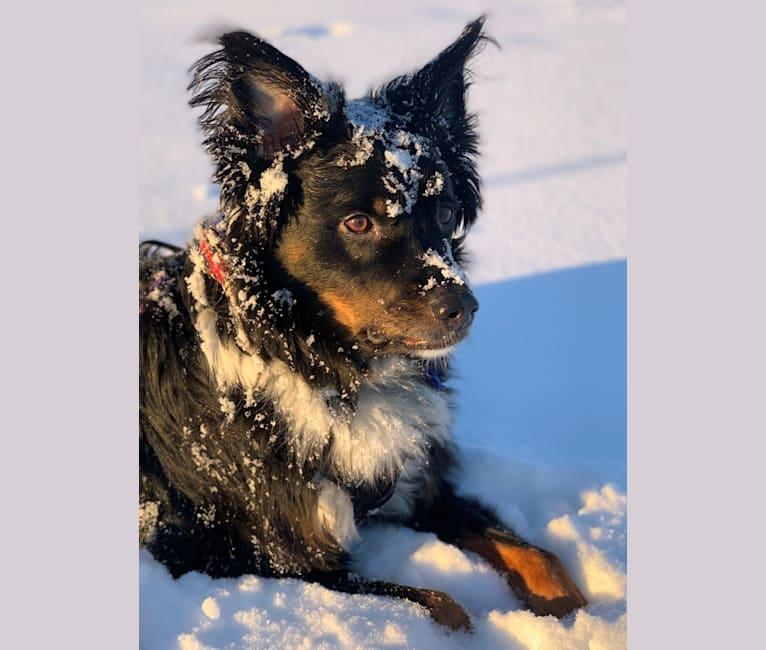 Photo of Louie, an Australian Cattle Dog, English Shepherd, and English Springer Spaniel mix in Georgia, USA