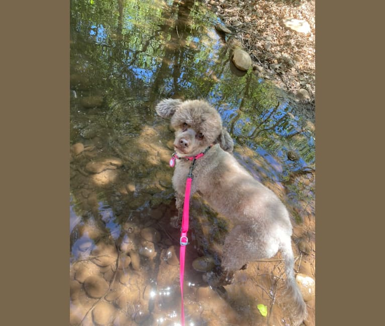 Photo of Sky, a Portuguese Water Dog  in Prescott, AZ, USA