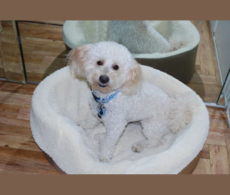 Photo of Noah, a Poodle (Small) and Pekingese mix in Los Angeles, California, USA