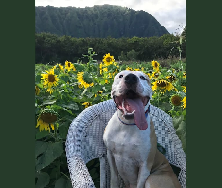 Photo of Achilles, an American Pit Bull Terrier and American Staffordshire Terrier mix in Waianae, Hawaii, USA