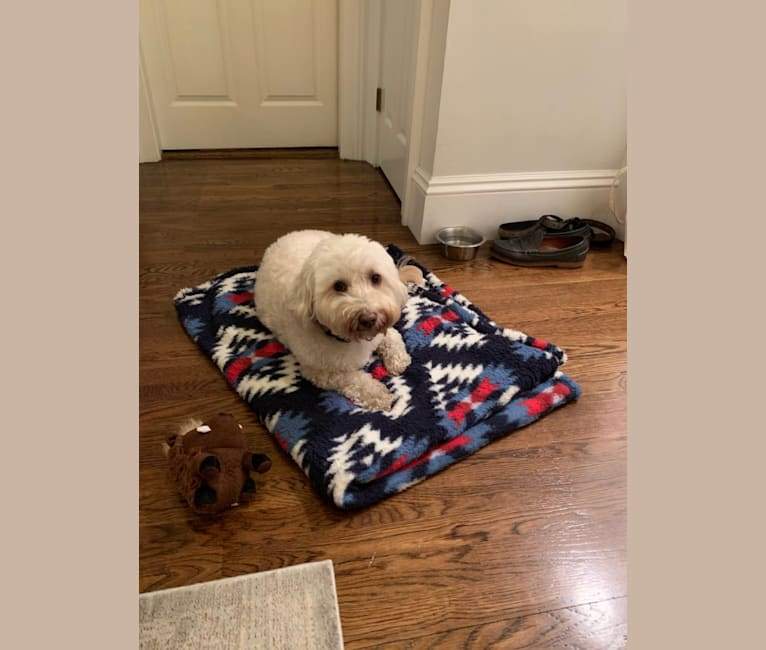 Photo of Aussie Gen2, a Poodle (Small), Miniature Schnauzer, Pekingese, and Mixed mix