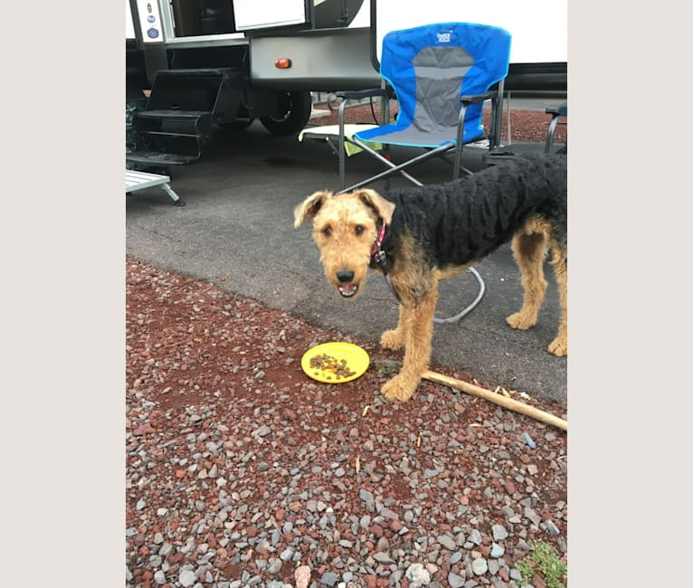 Photo of Sami Jo, an Airedale Terrier  in Norco, CA, USA
