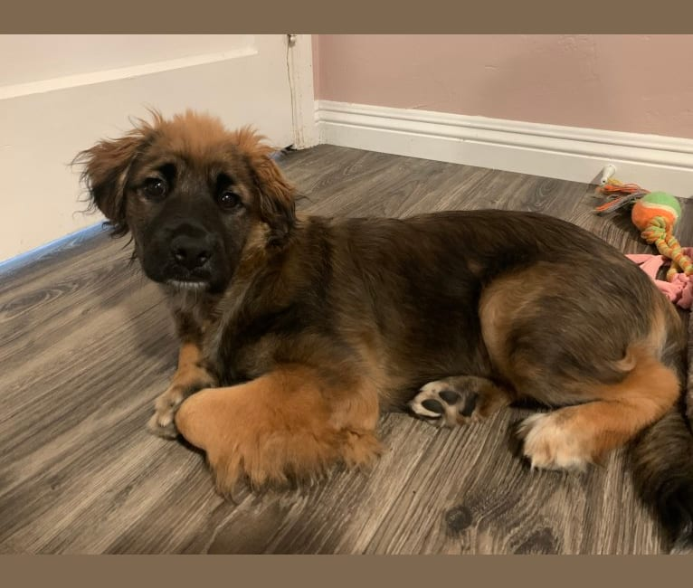 Photo of Tobey, a Chow Chow, American Pit Bull Terrier, Cocker Spaniel, German Shepherd Dog, and Mixed mix in Los Angeles, California, USA