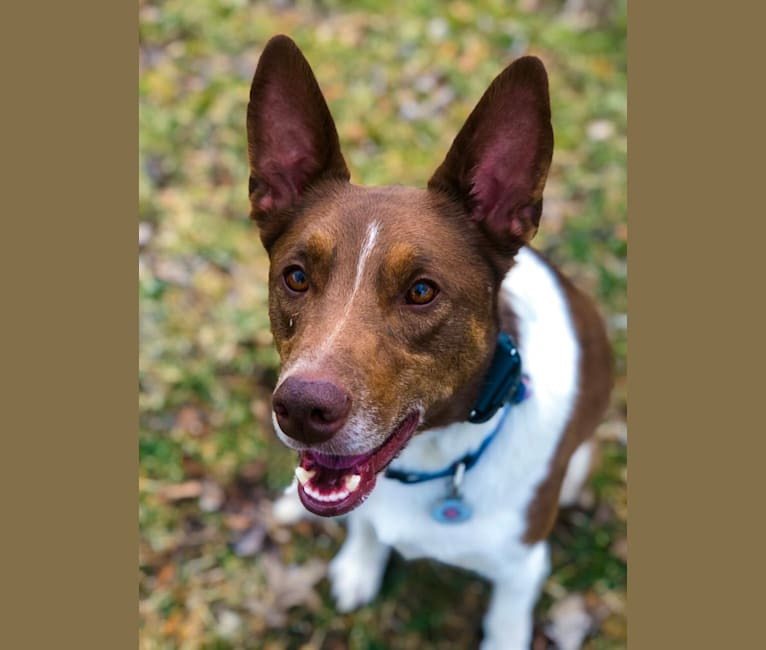 Photo of Gemini, a Border Collie, Australian Shepherd, and German Shepherd Dog mix in Chicago, IL, USA