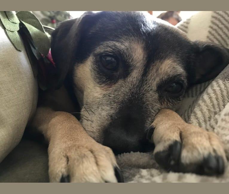 Photo of Bella, a Rat Terrier, Pug, and Beagle mix
