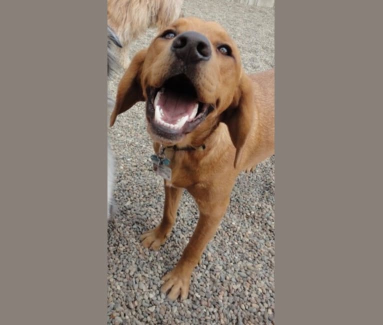 Photo of Bergy, a Labrador Retriever, Basset Hound, and Mixed mix in Columbus Junction, Iowa, USA