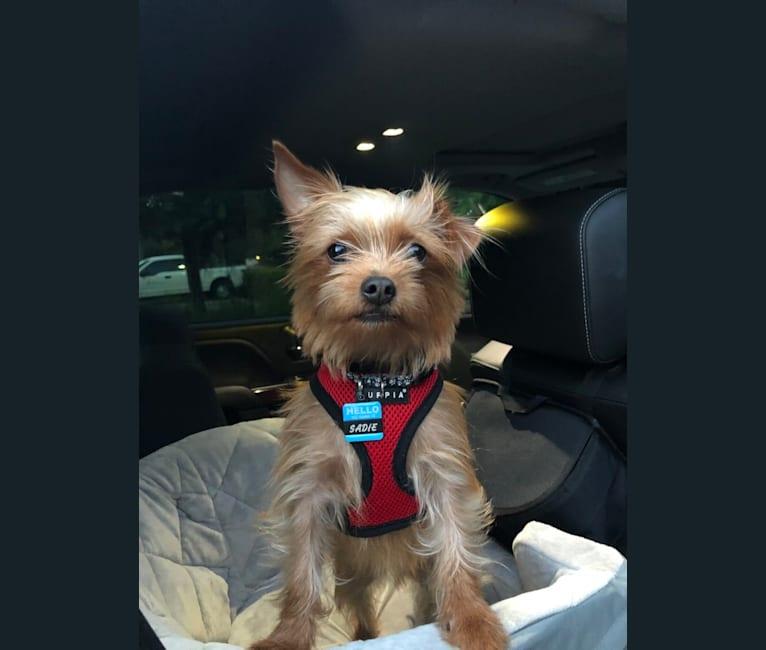Photo of Sadie Bones, a Chorkie (5.8% unresolved) in Florida, USA