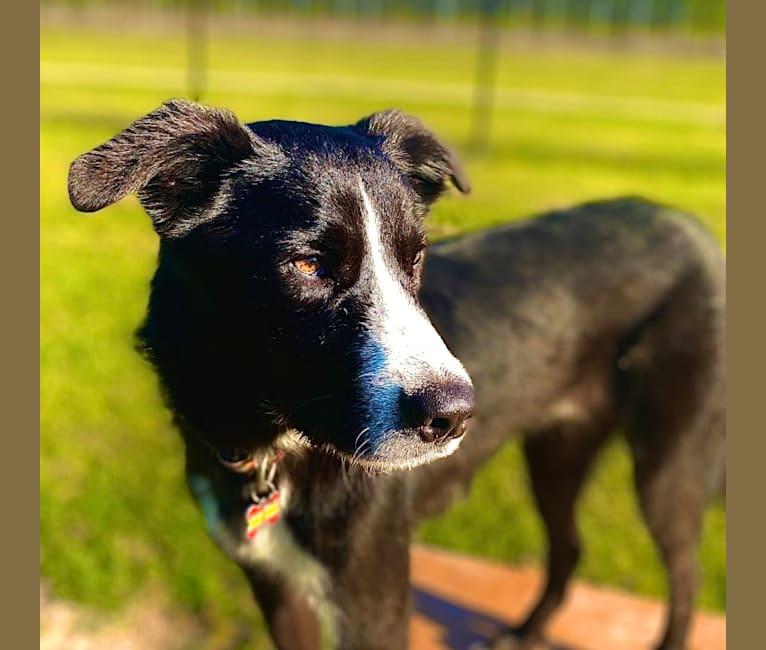 Photo of Angus, a Great Pyrenees, Labrador Retriever, German Shepherd Dog, and Catahoula Leopard Dog mix in Broussard, Louisiana, USA
