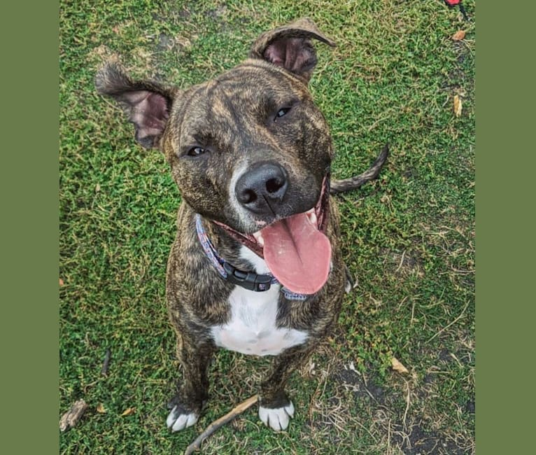 Photo of Mackey, an American Pit Bull Terrier  in Chicago, Illinois, USA