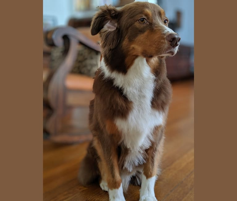 Photo of Bruce, an Australian Shepherd Group  in New Orleans, Louisiana, USA