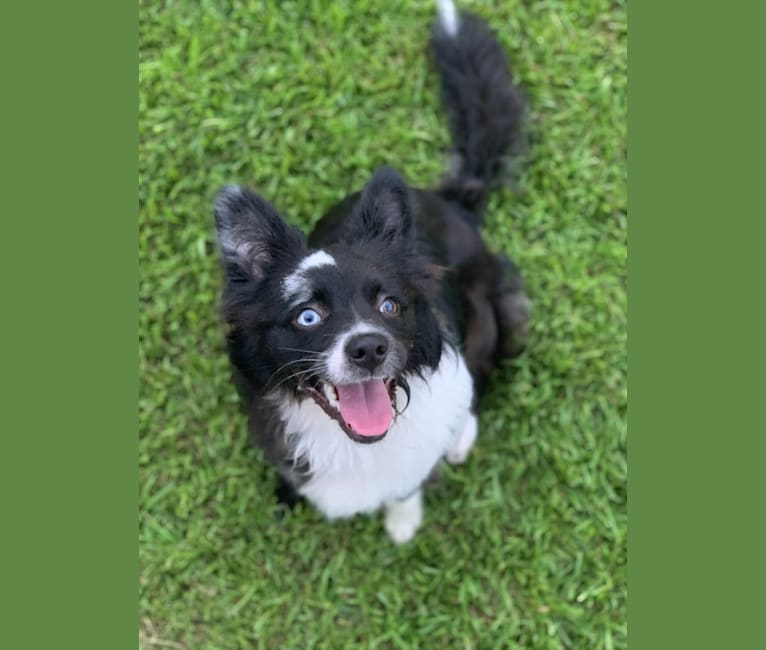 Photo of Brees, a Miniature/MAS-type Australian Shepherd, Australian Cattle Dog, and American Pit Bull Terrier mix in Baton Rouge, Louisiana, USA