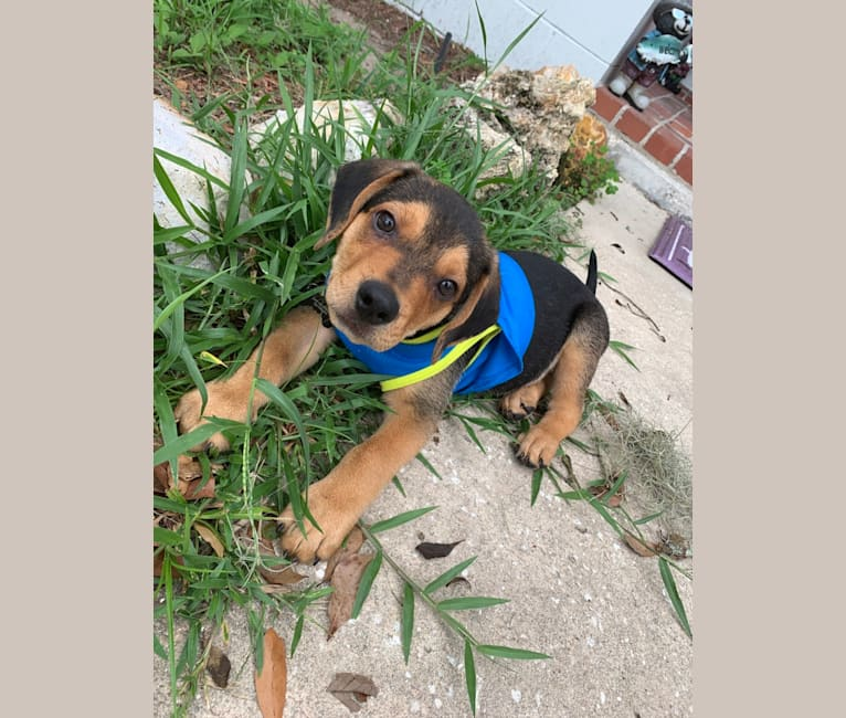 Photo of Machito Perez, a Rottweiler, Beagle, American Pit Bull Terrier, and Chihuahua mix in Gainesville, FL, USA