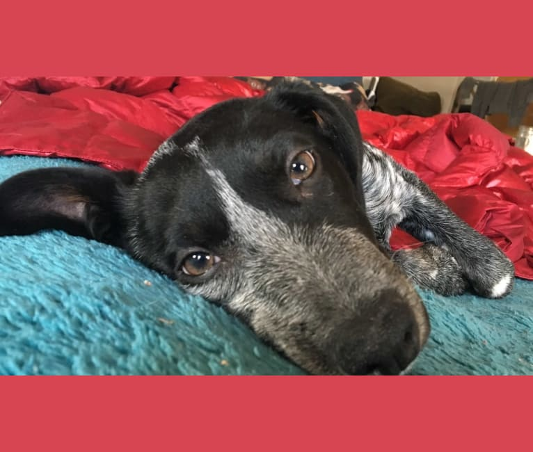 Photo of Sophie, an Australian Cattle Dog, Dachshund, Labrador Retriever, and Mixed mix in Texas, USA