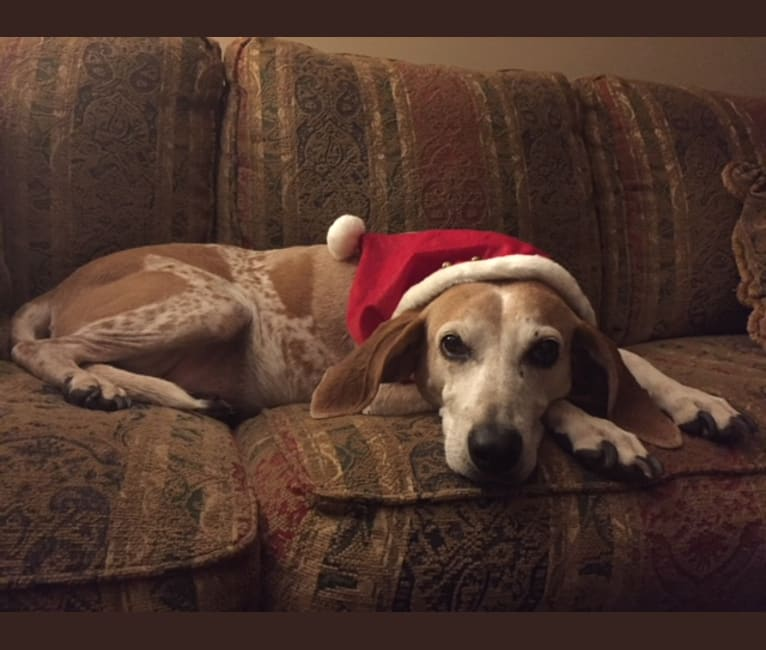 Photo of Willow, an American English Coonhound  in Connecticut, USA