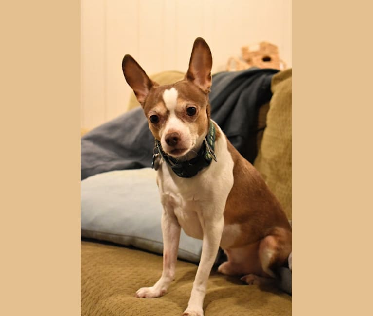 Photo of Johnny, a Chihuahua, Dachshund, and Rat Terrier mix in Garden City, Kansas, USA