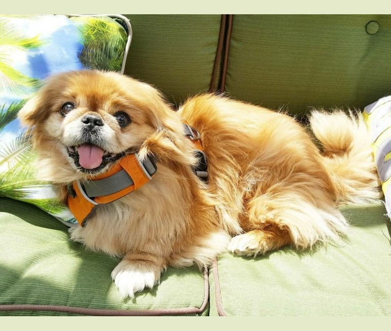 Photo of Ernest, a Pekingese  in Chapleau, Ontario, Canada