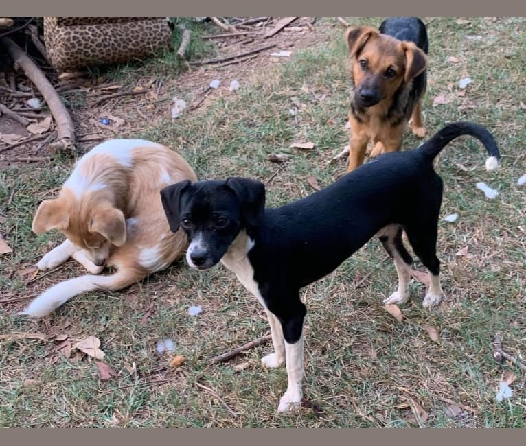 Photo of Jaxson, a Chihuahua, Dachshund, and Mixed mix in Smyrna, Georgia, USA