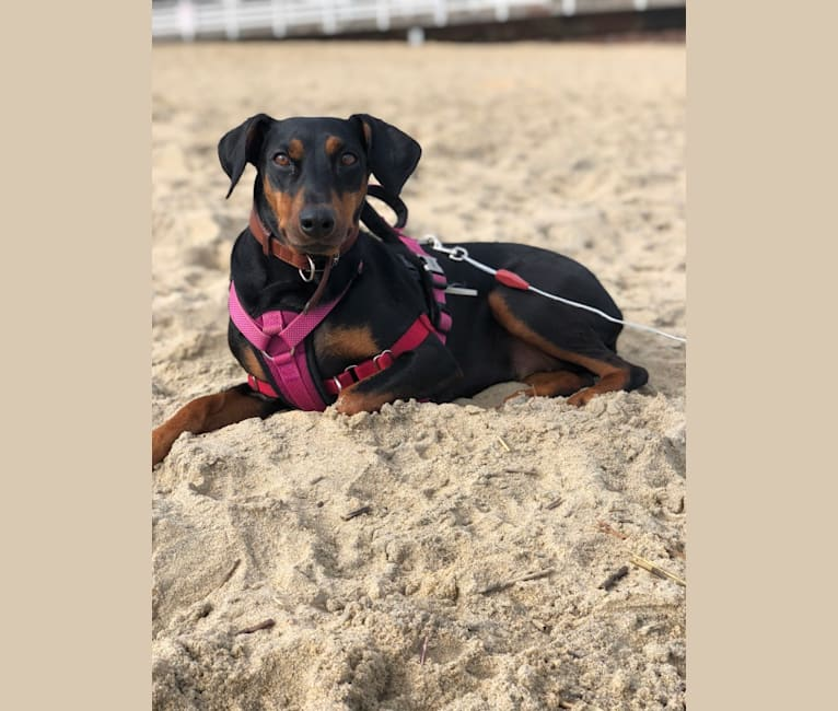 Photo of Hennessy, a German Pinscher  in Big Bear Lake, CA, USA