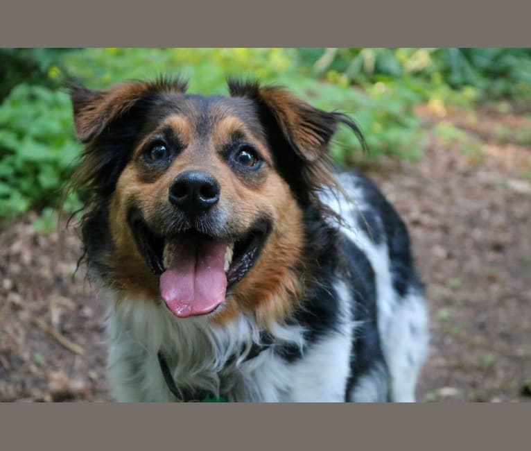 Photo of Bo, a Russell-type Terrier, Australian Cattle Dog, Chow Chow, Black and Tan Coonhound, Beagle, Labrador Retriever, and Mixed mix in Cumming, GA, USA