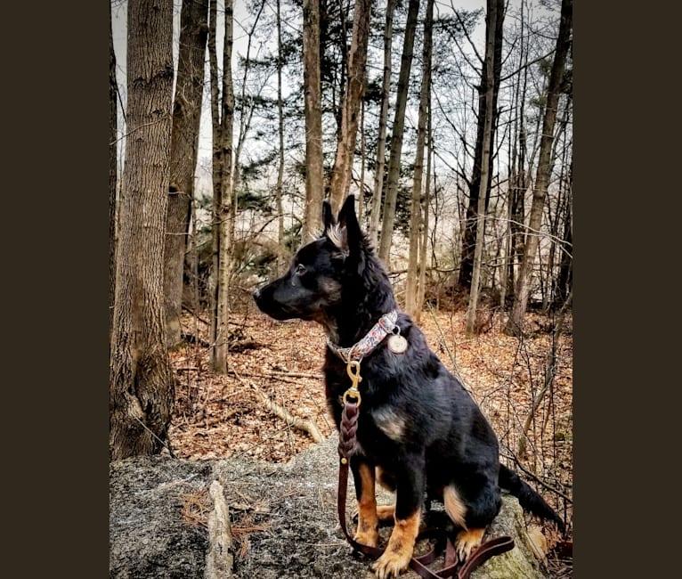 Photo of Lucy, a German Shepherd Dog, Labrador Retriever, Collie, and English Springer Spaniel mix in Strathroy, Ontario, Canada