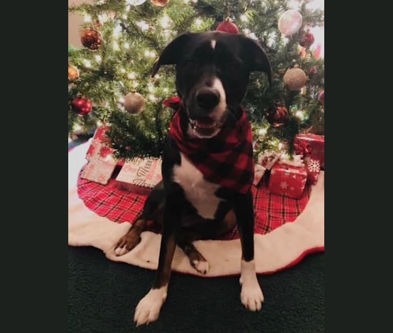 Photo of Bailey, a Mountain Cur, Rottweiler, and American Pit Bull Terrier mix in West Virginia, USA