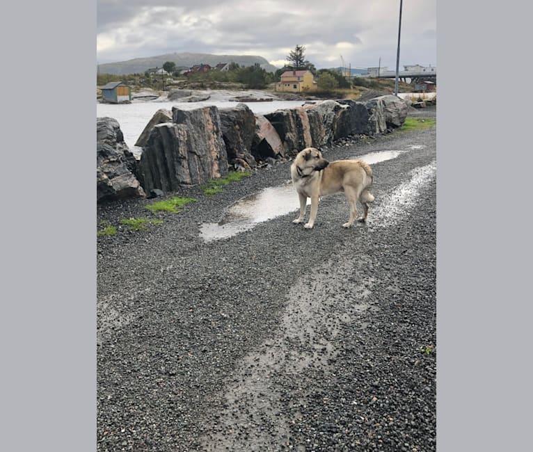 Photo of Arkan, an Anatolian Shepherd Dog  in Elverum, Hedmark, Norge