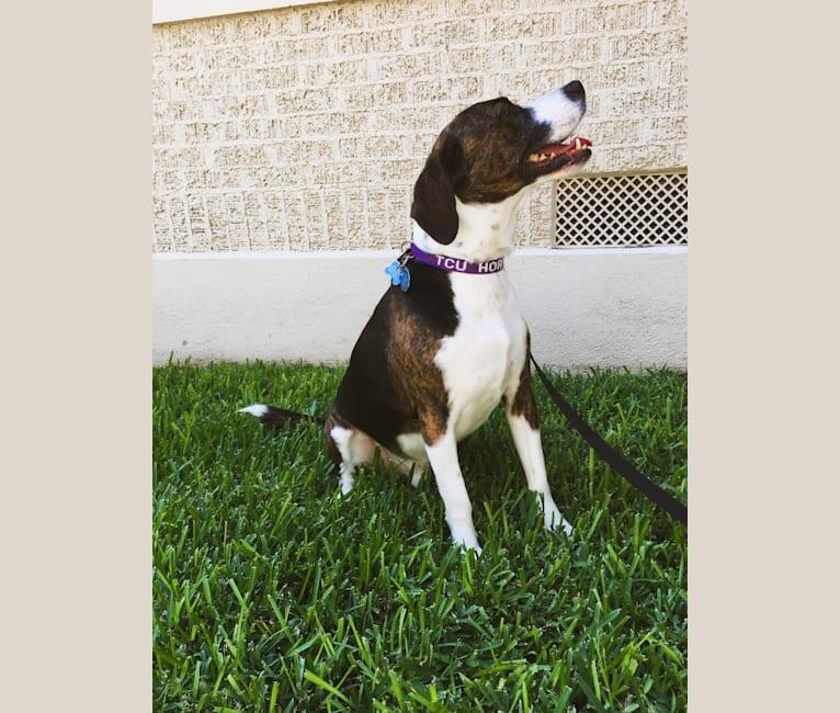 Photo of Bailey, a Beagle, American Bully, and German Shepherd Dog mix in Tijuana, Baja California, Mexico