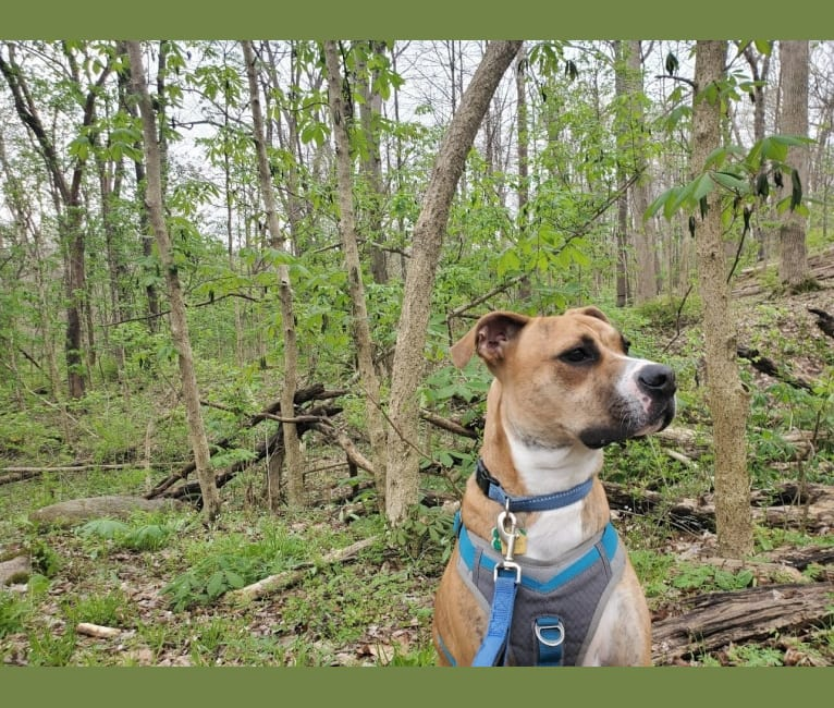 Photo of Coffee, an American Pit Bull Terrier, Boxer, and American Bulldog mix in Columbus, Ohio, USA