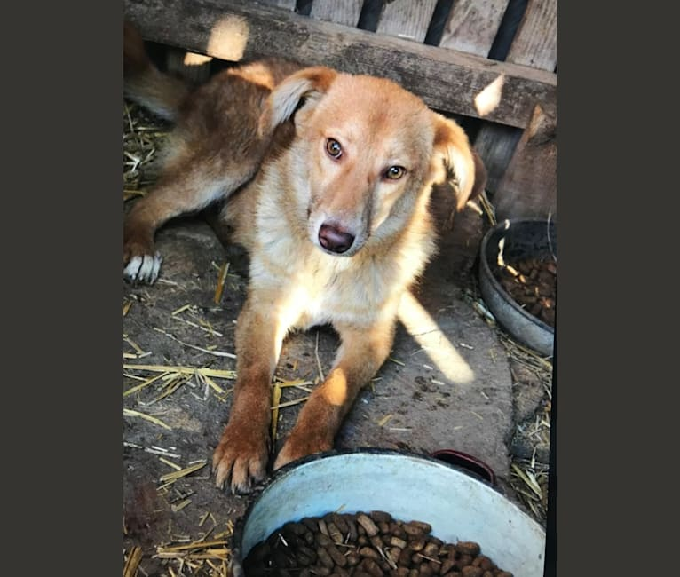 Photo of Arthur, an Eastern European Village Dog and German Shepherd Dog mix in Bukarest, Bukarest, Rumänien