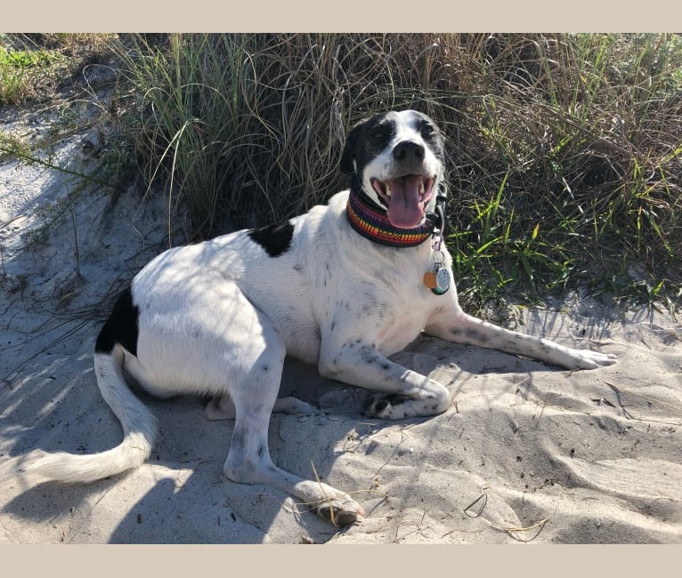 Photo of Gideon, a Labrador Retriever, American Bulldog, Catahoula Leopard Dog, American Staffordshire Terrier, and Beagle mix in Florida, USA