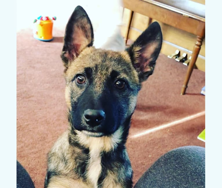 Photo of Tala, a German Shepherd Dog, Australian Cattle Dog, and Chow Chow mix in Lyndon Station, Wisconsin, USA