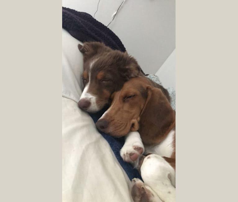 Photo of Ranger, a Beagle  in Canton, Michigan, USA