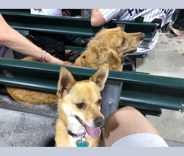 Photo of Lola, a Pomeranian, Chihuahua, and Rat Terrier mix in Chicago, Illinois, USA