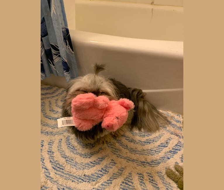 Photo of Tobi, a Shih Tzu, Pekingese, and Yorkshire Terrier mix in Lusby, Maryland, USA
