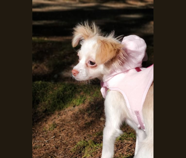 Photo of Mochi, a Chihuahua, Pekingese, Poodle (Small), and Mixed mix in San Diego, California, USA
