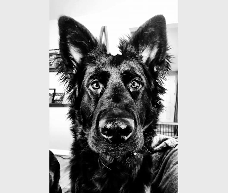 Photo of Valor Vom Hof Grebe, a German Shepherd Dog  in Netphen, Germany