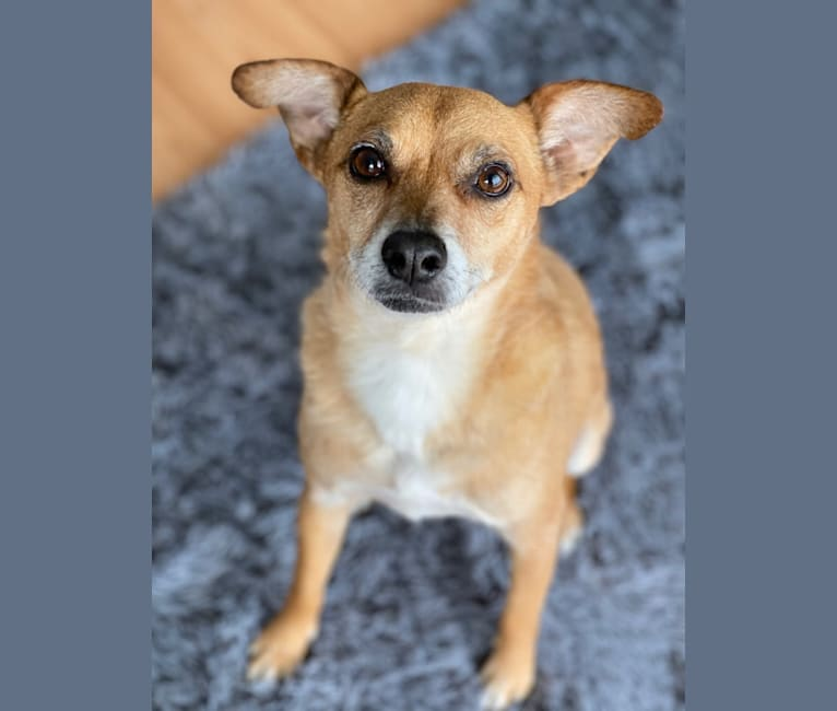 Photo of Henry, a Chihuahua, Poodle (Small), Beagle, and Pug mix in Walnut, CA, USA
