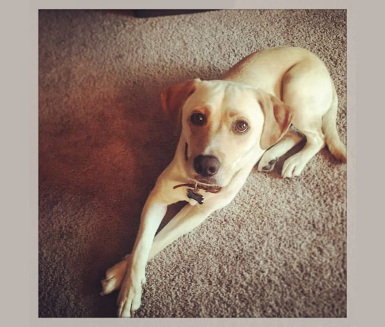 Photo of Charlie, a Labrador Retriever, Boxer, Mountain Cur, and Mixed mix in New Orleans, Louisiana, USA