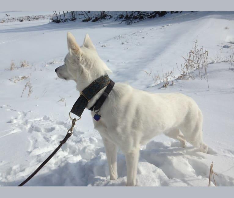Photo of Kato, an Alaskan-type Husky  in Fargo, North Dakota, USA
