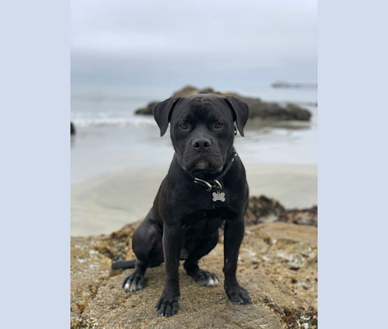Photo of Samson, an American Bulldog and Rottweiler mix in Rowland Heights, CA, USA