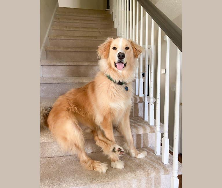 Photo of Truman, a Bernese Mountain Dog, Australian Cattle Dog, German Shepherd Dog, Labrador Retriever, Akita, and Mixed mix in Matanuska-Susitna Borough Animal Shelter, E. Chanlyut Circle, Palmer, AK, USA