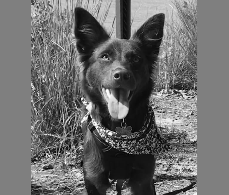Photo of Harper, a Border Collie, Boston Terrier, Chinese Shar-Pei, German Shepherd Dog, Labrador Retriever, and Australian Shepherd mix