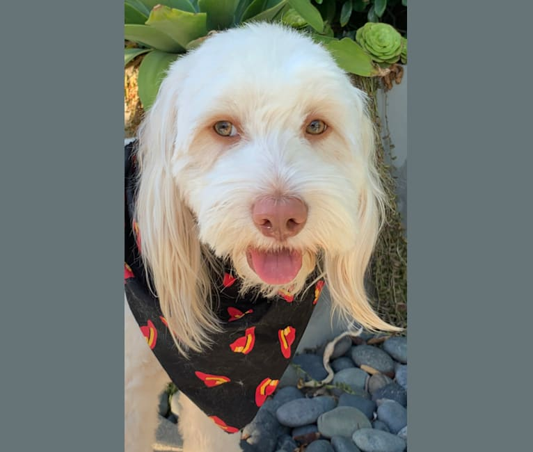 Photo of Toby-Joe, a Cocker Spaniel, Bichon Frise, Yorkshire Terrier, Poodle (Small), and American Pit Bull Terrier mix in Los Alamitos, California, USA