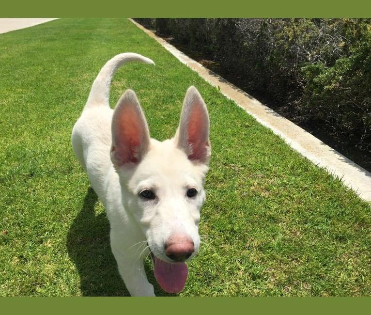 Photo of Bella, a German Shepherd Dog  in California, USA